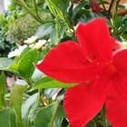 🥀マンデビラ・ダンディーの真っ赤な花