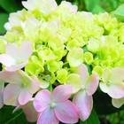 山紫陽花💚倉木テマリの花が色づき始めま...
