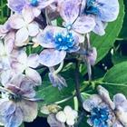 山紫陽花日向小紋の💠花 遅れ花のブルー...