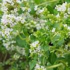 食用オレガノの花 どんな花が咲くのか楽...