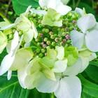 エゾアジサイ、旧公会堂脇の坂道に咲い...