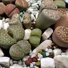 石の様なリトープス