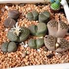 石のようなリトープスの寄せ植え...オレ...