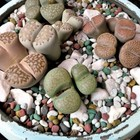 仲間が増えたリトープスの寄せ植え...鉢...