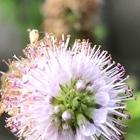 ミントの花です。
