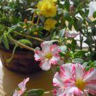 花瓶で咲いているポーチュラカ 2019年11月