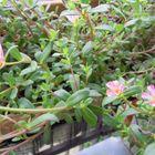 葉っぱばかり育つ花の少ない今年のポー...