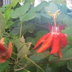 12月紅花時計草