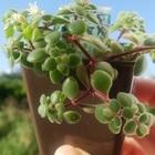 4/18(木) ミニ鉢 ブロウメアナも咲きま...