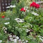 パクチーの白い花が可愛いです