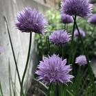 チャイブの花。