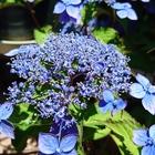 ヤマアジサイの青色です。 青色もきれい...