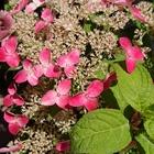ヤマアジサイのピンク色です。 半日蔭で...