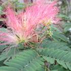 集合住宅の前庭に咲く 合歓木(ねむのき...