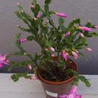 茎節の小さなシャコバサボテンが咲き始...