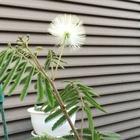シロバナネムノキの花