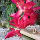 今日のシャコバサボテンの花