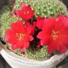 🌻拡大撮りで見て、真っ赤な花がまぶしく...