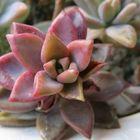 ブロンズ姫...赤茶色の美しい葉で茎が特徴