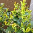 ネズミモチの木 新芽がすごい‼️ この木...