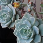 白牡丹:花が少し開きました