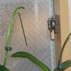 二階の窓際に置いた胡蝶蘭、前回は花茎...