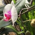 コチョウランの新たな蕾が咲き出しました