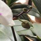 小型白弁赤リップの花茎の先からまた花...