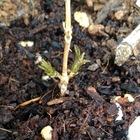 ヤマアジサイ「紅」挿し木に新芽