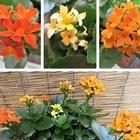 カランコエ ミックス花の1鉢
