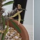 <パキポディウム小> 地味に開花。花は...