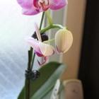 今年の胡蝶蘭、最後の鉢が咲きました。...