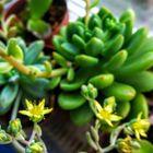 秋麗の挿し芽に黄色の可愛い花が咲き始...