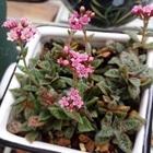 クーペリーの花 けっこう長く咲いてます
