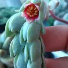 パキフィツム属の星美人の蕾から赤い花...