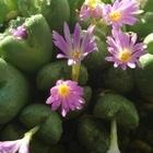 玉宮殿  今年は、開花数が多い気がします🎵