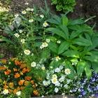 前花壇で咲いた、こぼれ種のカモミール...