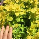 新芽は黄色、中は緑がかってグラデーシ...