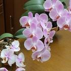 ミニとミディの胡蝶蘭。 ミニの花はそろ...