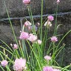 去年種から育てたアサツキが、庭のあち...