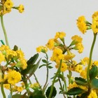 3年目に突入した黄色い『カランコエ』...
