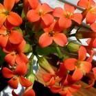 2年目に突入したオレンジの『カランコ...