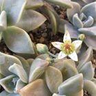 2012、4、22 朧月咲きました。 花びらに...