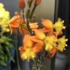 かわいい花アロエ