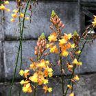 いっぱい咲いて可愛くなってる😄  花アロエ