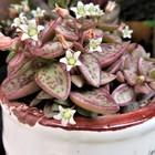 ヴォルケンシー(クラッスラ属)の花