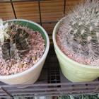 2⃣🌵左:繰り返し花咲くサボテン翠晃冠.....