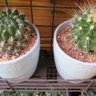1⃣🌵左:鉢巻の様に小さな赤い花咲くサボ...