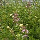 フォックスリータイムの開花が、進んで...