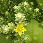 セダムと、雑草のコラボ💃  お花が咲き始...